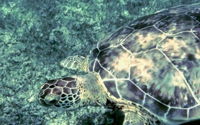 Swimming With Turtles in Akumal, Mexico: The Ultimate Guide