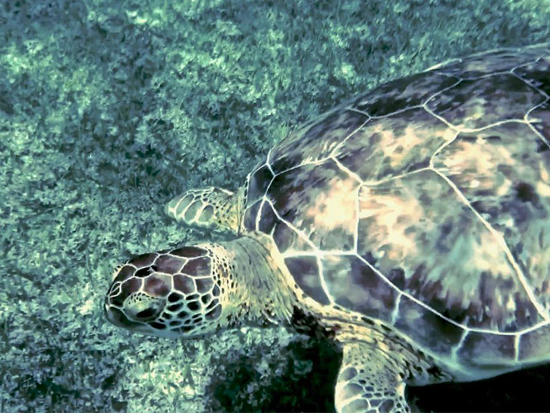 swimming with sea turtles in akumal mexico is one of the most fun adventures in the riviera maya