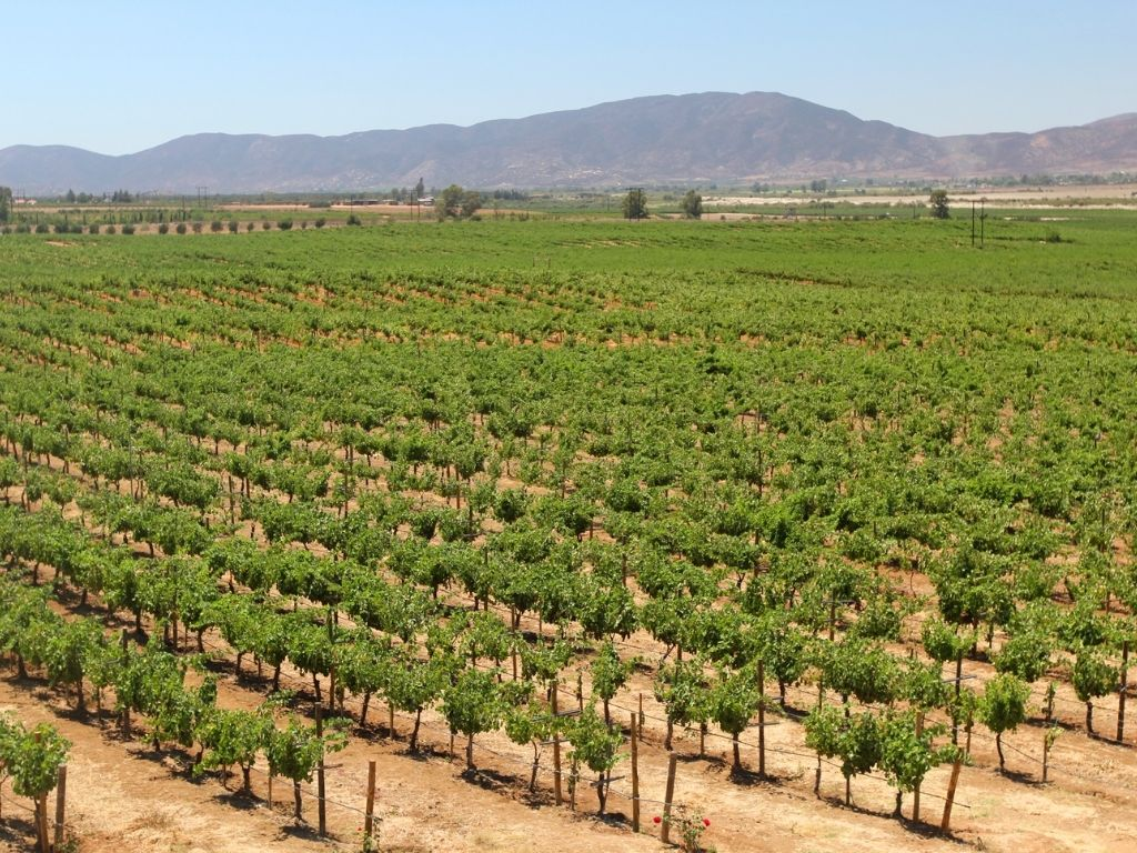 the vineyards are a huge attraction in Valle de Guadalupe Mexico